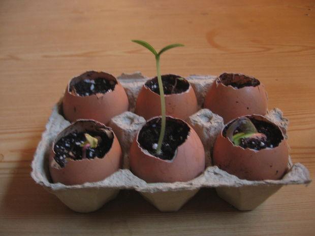 seedlings in eggshells
